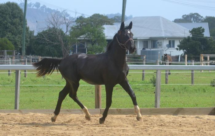 Donnerhall line black filly