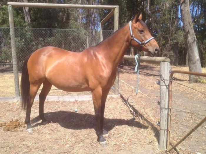Bay Thoroughbred mare - Ashtah