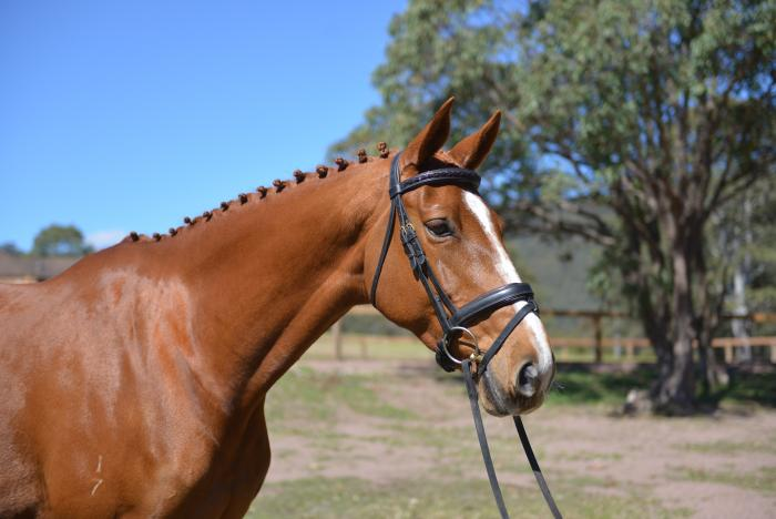 Well bred proven broodmare