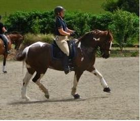 PRICE DROP Medium dressage - 1.05m jumping