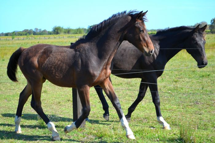 Furst Love yearling colt