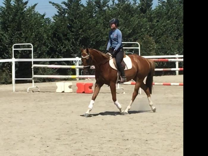 Lovely 5yo gelding