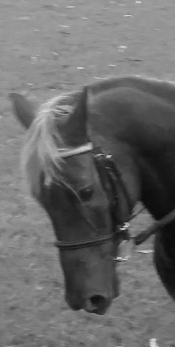 Black/silver taffy dressage pony