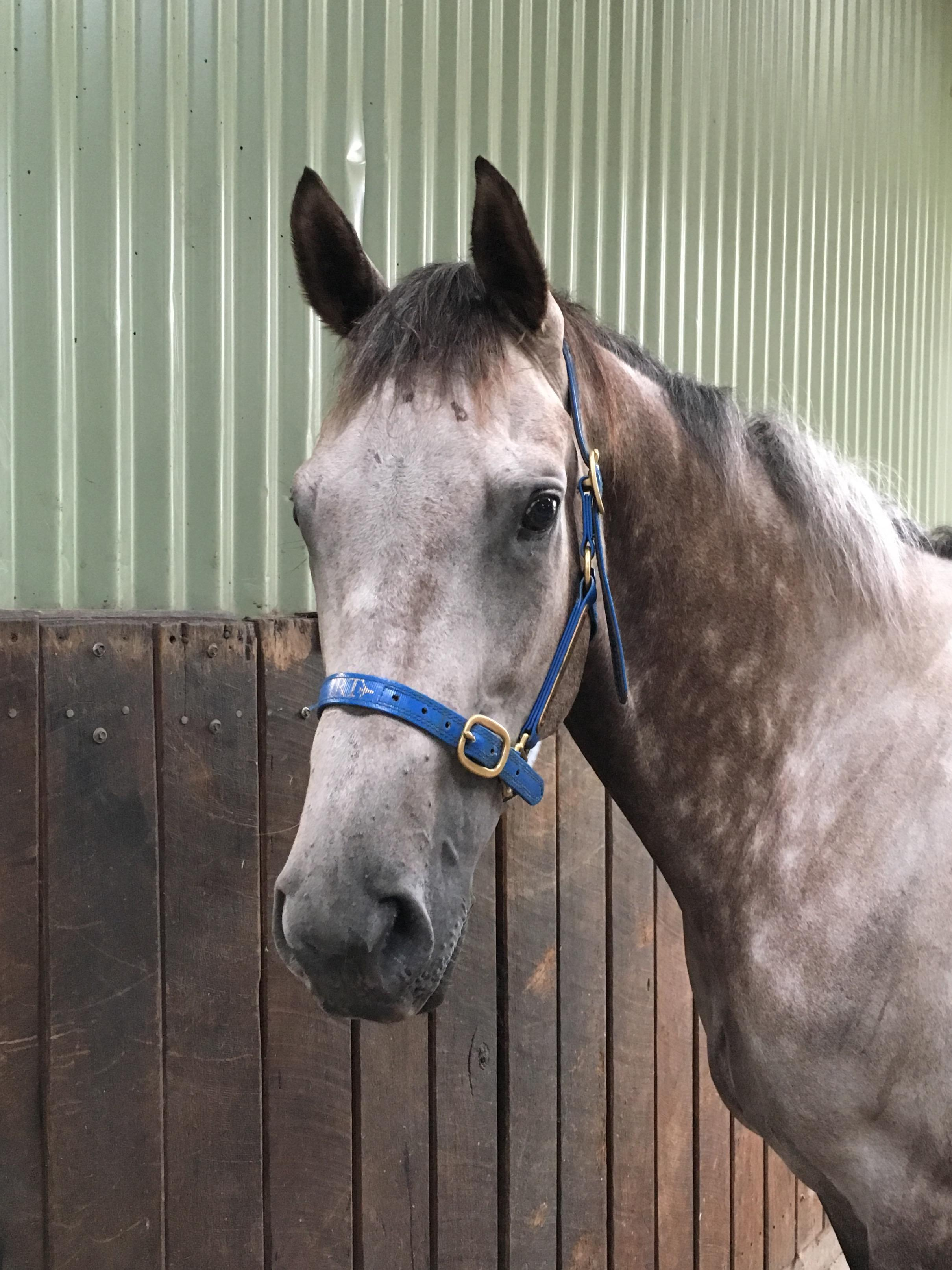 Beautiful grey gelding