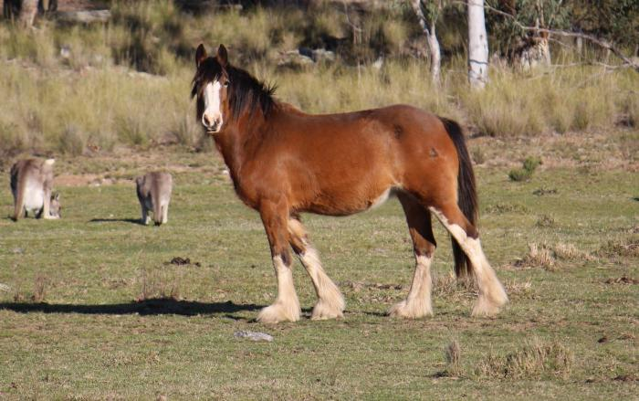 Clydesdale Mare in foal