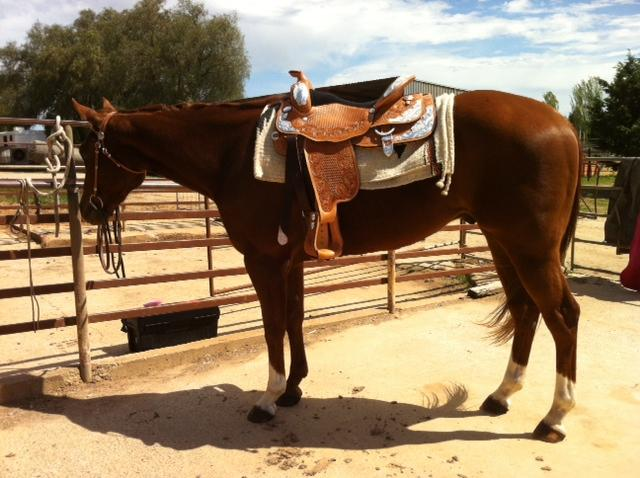 """ Quiet 3yr Old Gelding by HF Somethin Hot"""