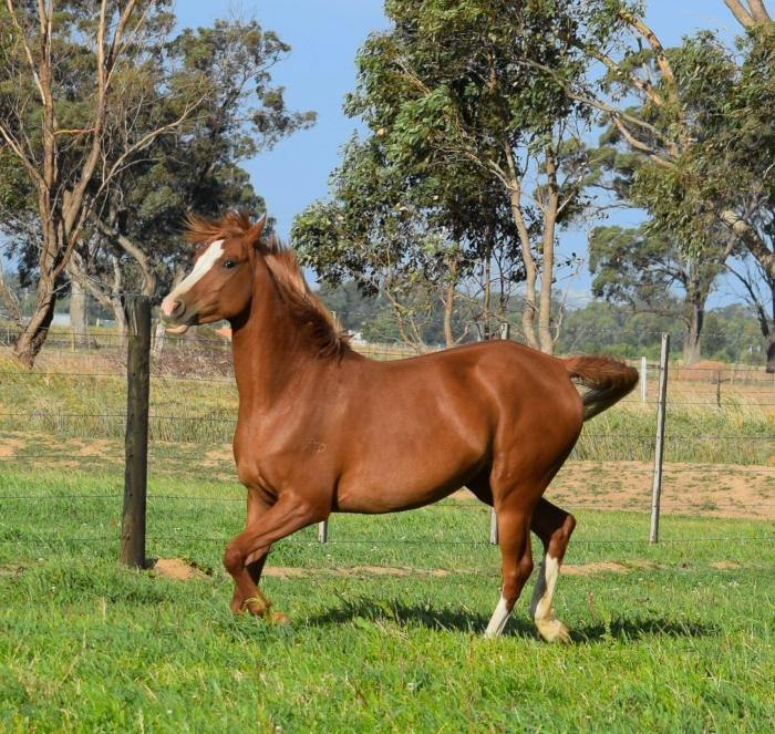 Beautiful Purebred Arabian Mare