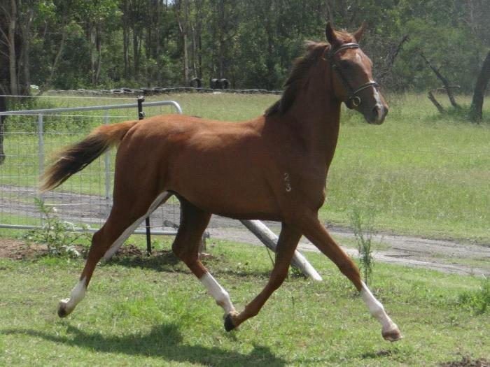 Pretty Saddlebred X