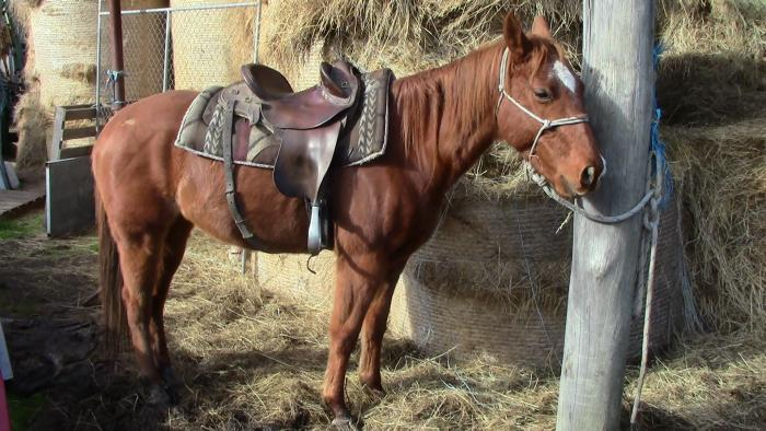 Very Cowy Stock Horse Filly