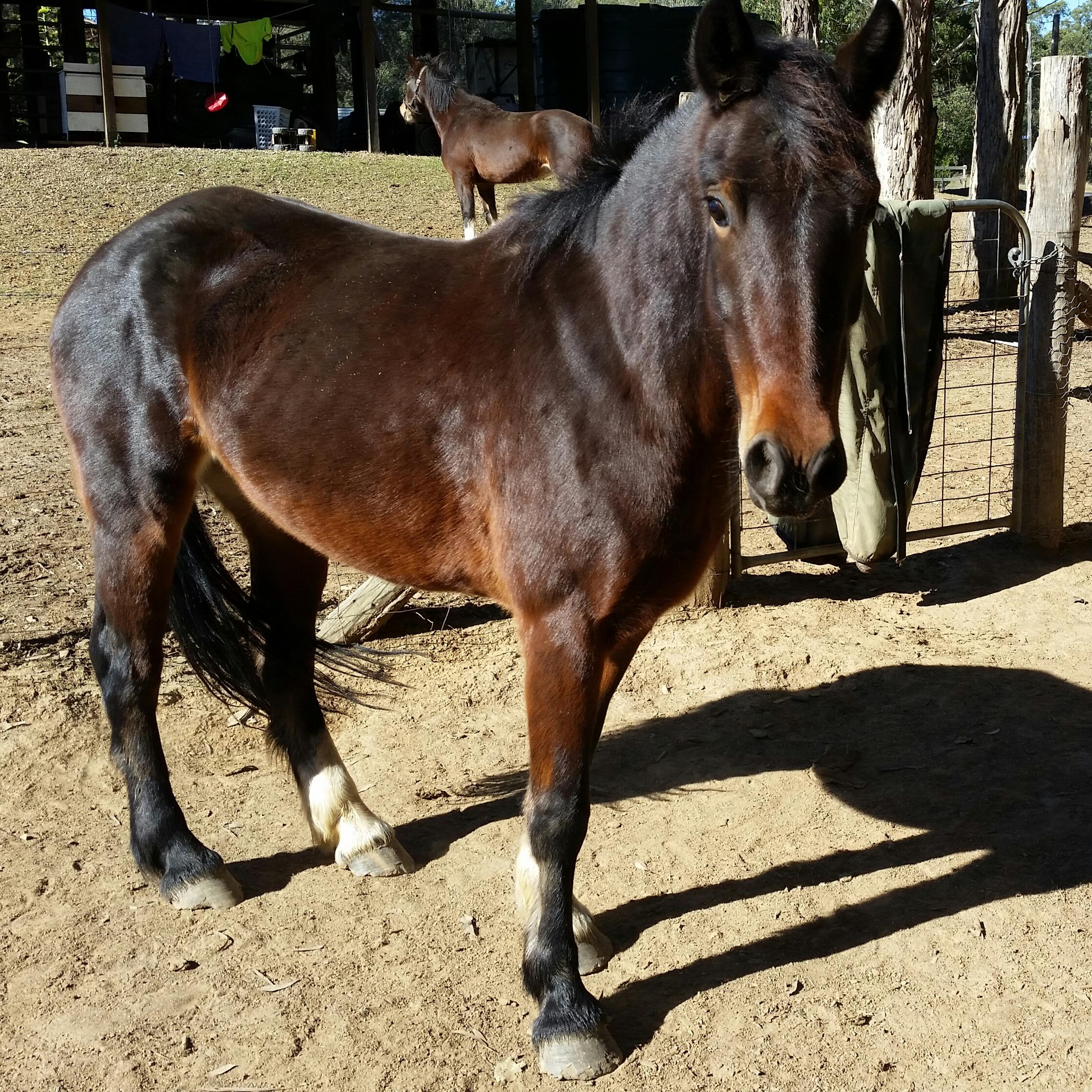 Sweet easy going quiet mare 15.1h 4yrs