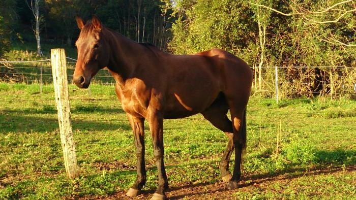 Versatile Stockhorse Hsh Mare Cleo Australian Stock