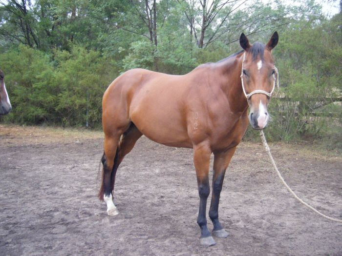 Lovely home needed for a loved mare