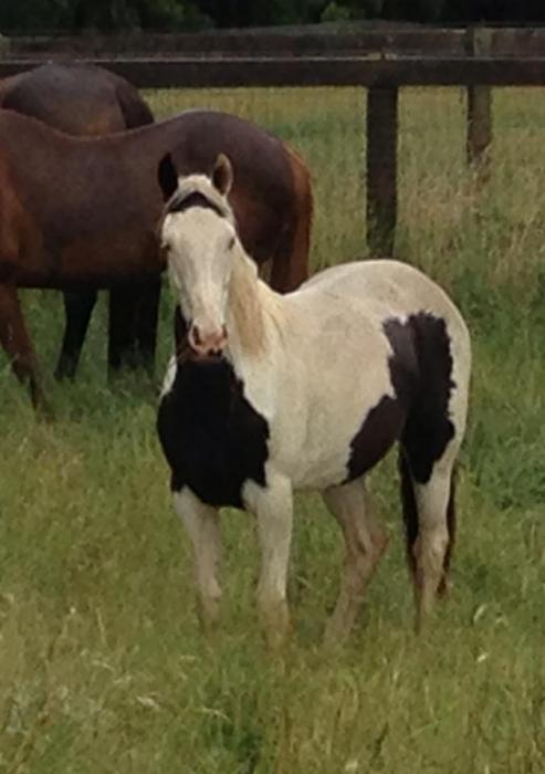 Stunning, quiet, black and white paint filly