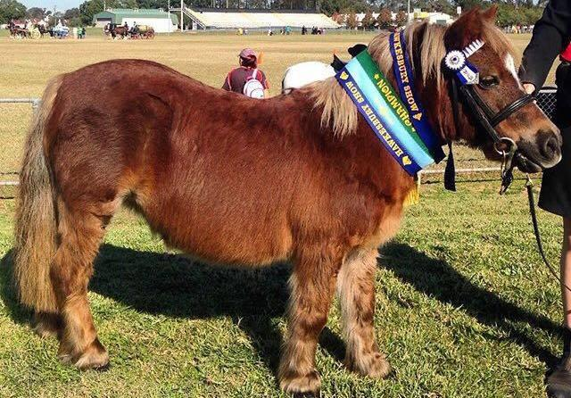"""Princess"" - Ideal child's shetland pony"
