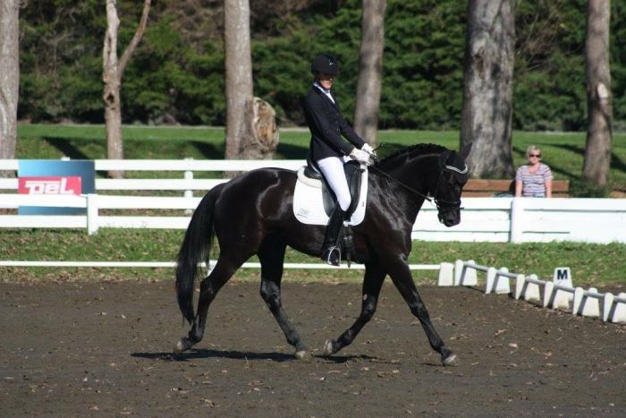 Stunning warmblood gelding, level 5 to advanced