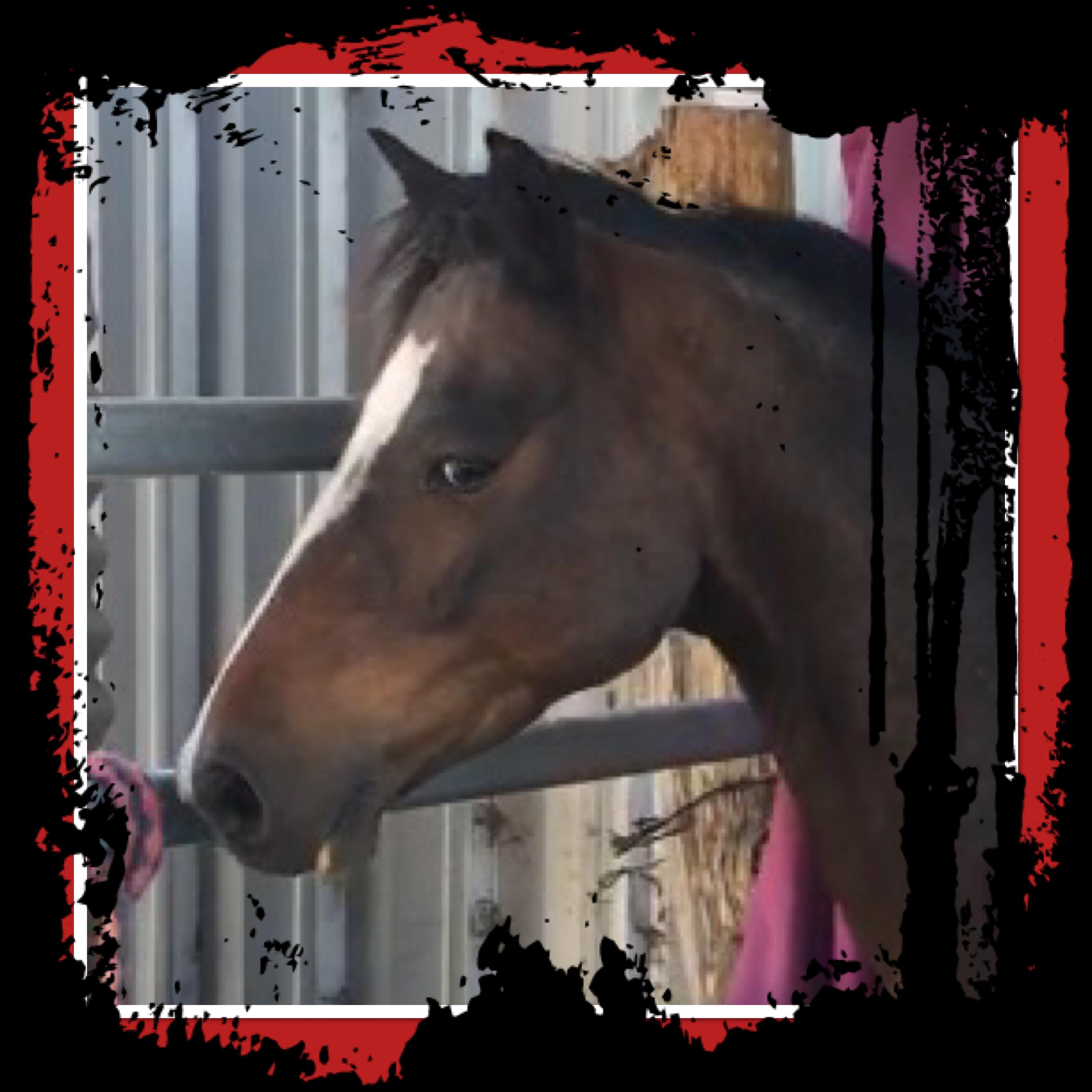 Welsh X pony