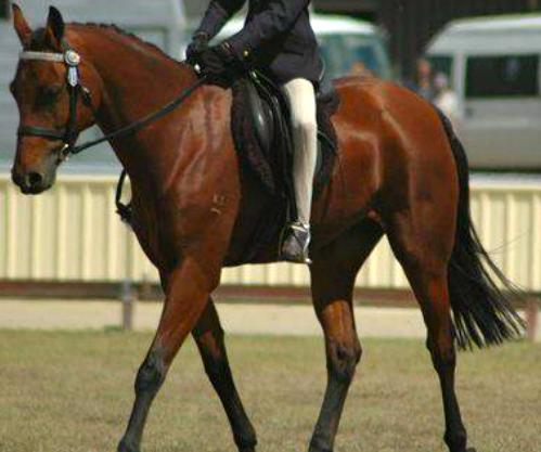 Great All Rounder, 14hh Pony Club Gelding