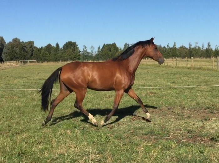 2 yo WB Filly
