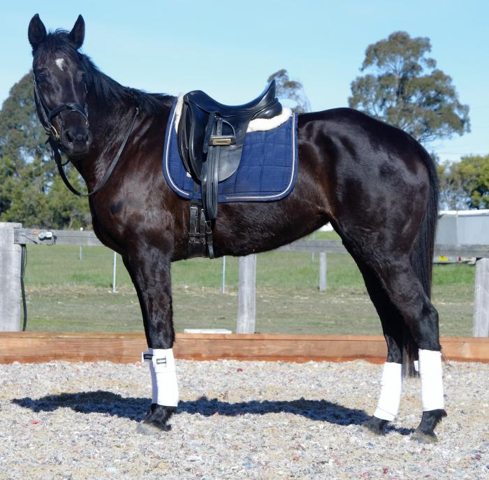 Cheap Black Mare for Breeding or Project!