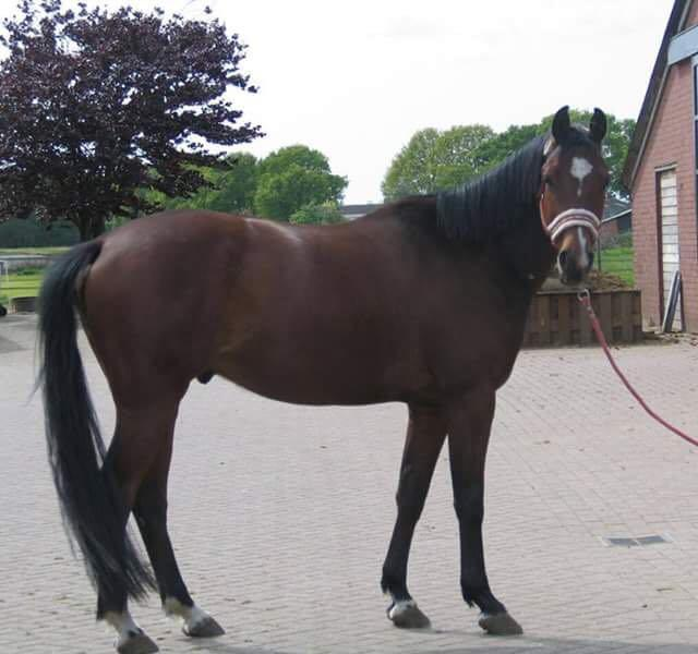 Flip - 6YO Imported Dutch Warmblood Allrounder