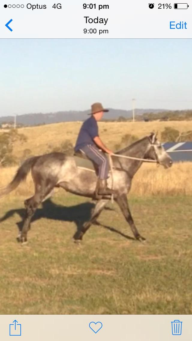 Grey athletic gelding
