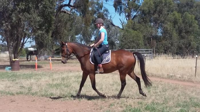 Fun Young Anglo Gelding 4yo