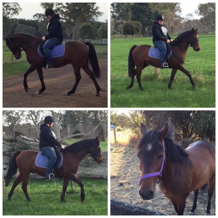 Tommy - Registered Part Australian Riding Pony
