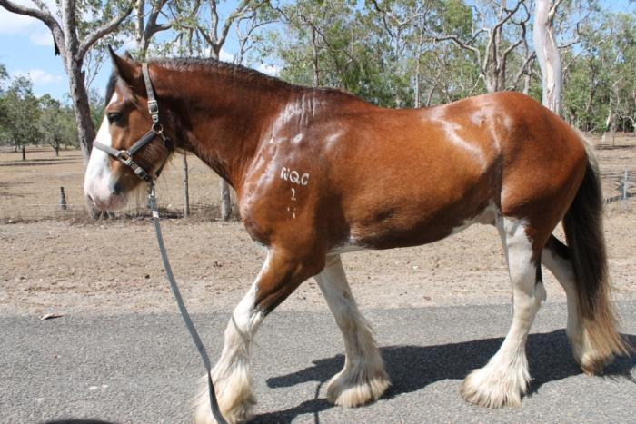 Registered Purebred Clydesdale Stallion