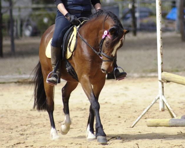 Stunning 13.3hh Welsh/ Arab Mare