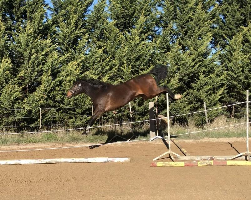 Nice 4 yr old jumper Imported blood!