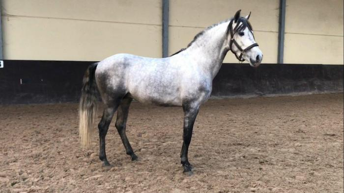 4 Years Old PRE Stallion Available