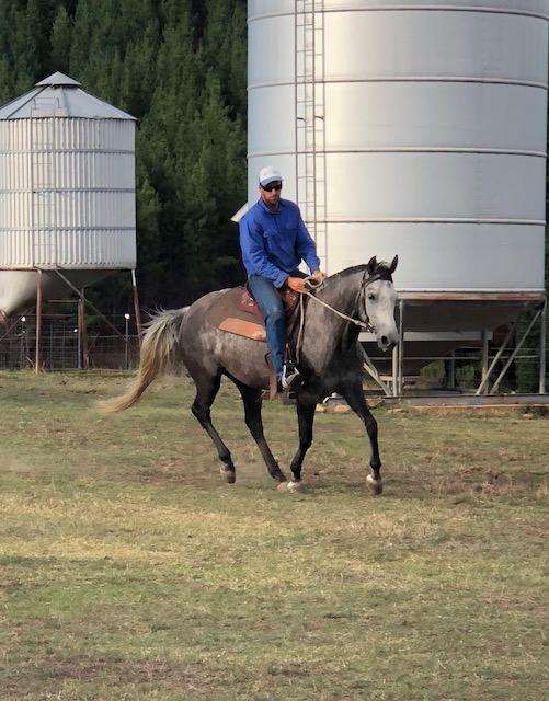 ASH X QH 6yr old grey mare