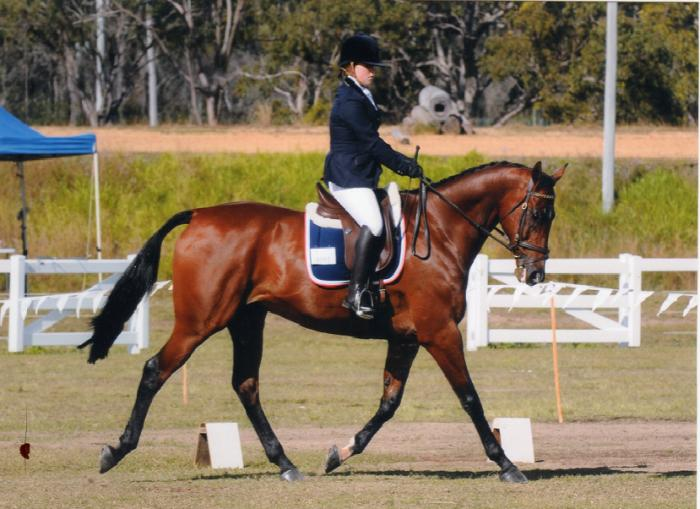 Flash Anglo Arabian Gelding