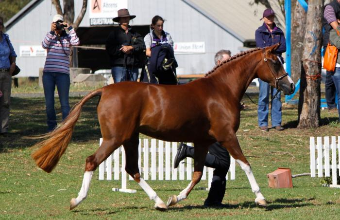 Pretty Chestnut Mare