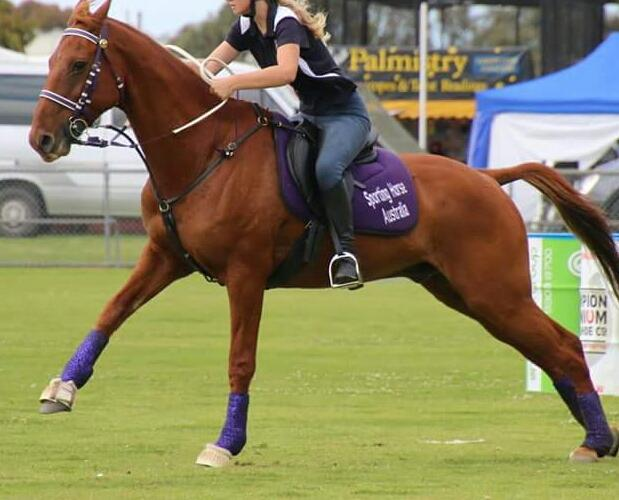 A grade polo cross stock horse