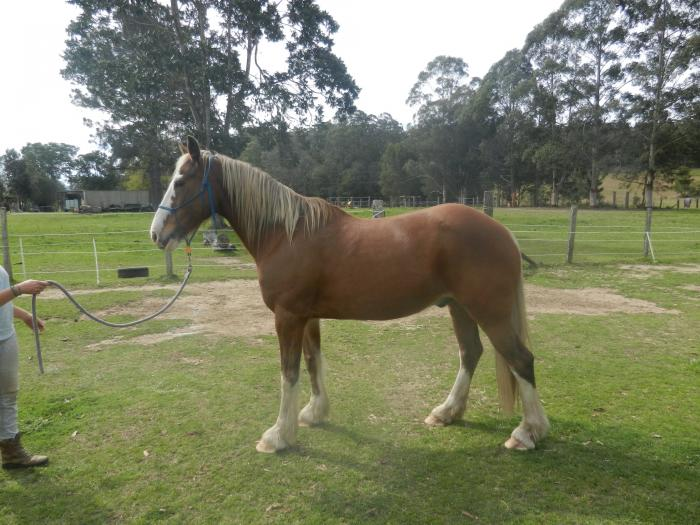 Stunning Clydesdale x