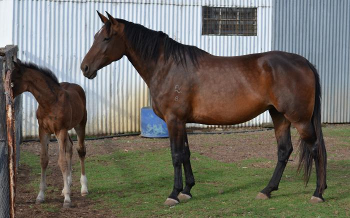 Quality Warmblood Mare Registered ACE