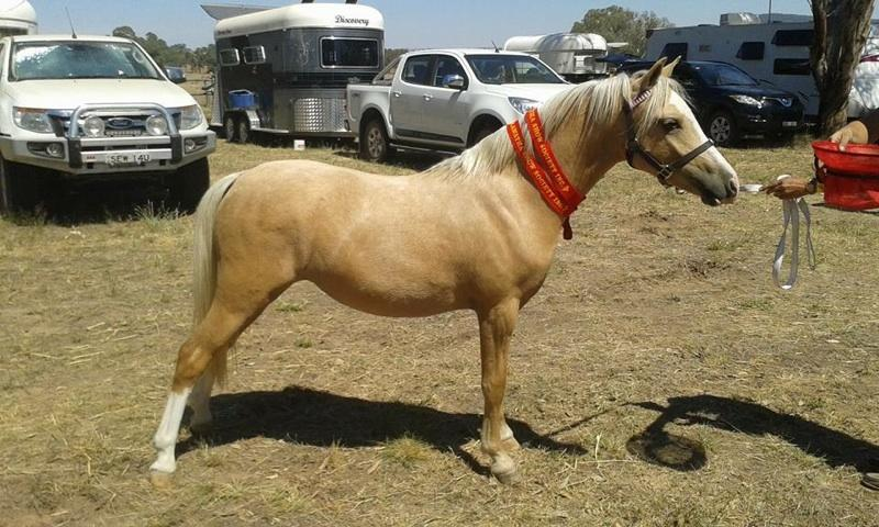 Palamino filly reduced to $600