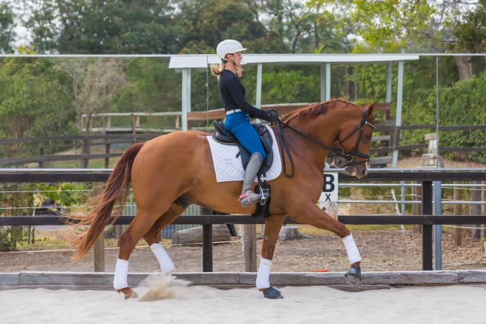 Super Talented Medium/Adv 12yr Warmblood Gelding
