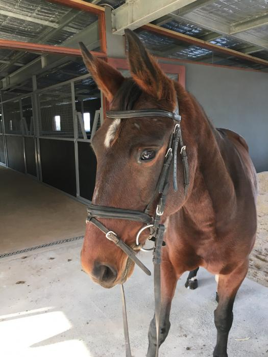 Priced to Sell  - Novice Mare by Belissimo M