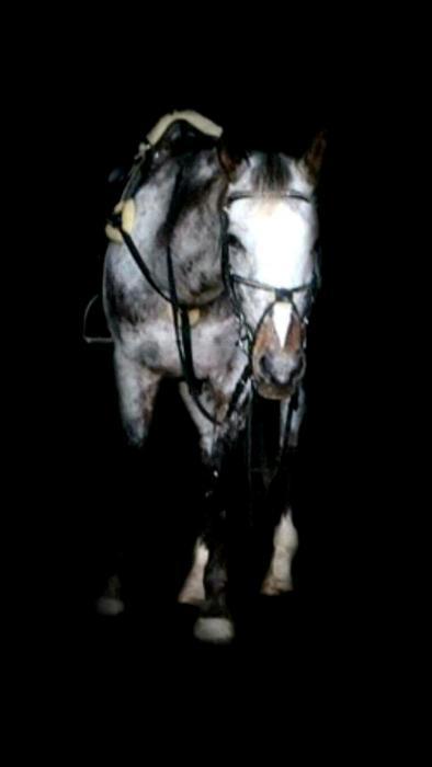 Appaloosa Gelding - Peter Moody's ex Lead Pony
