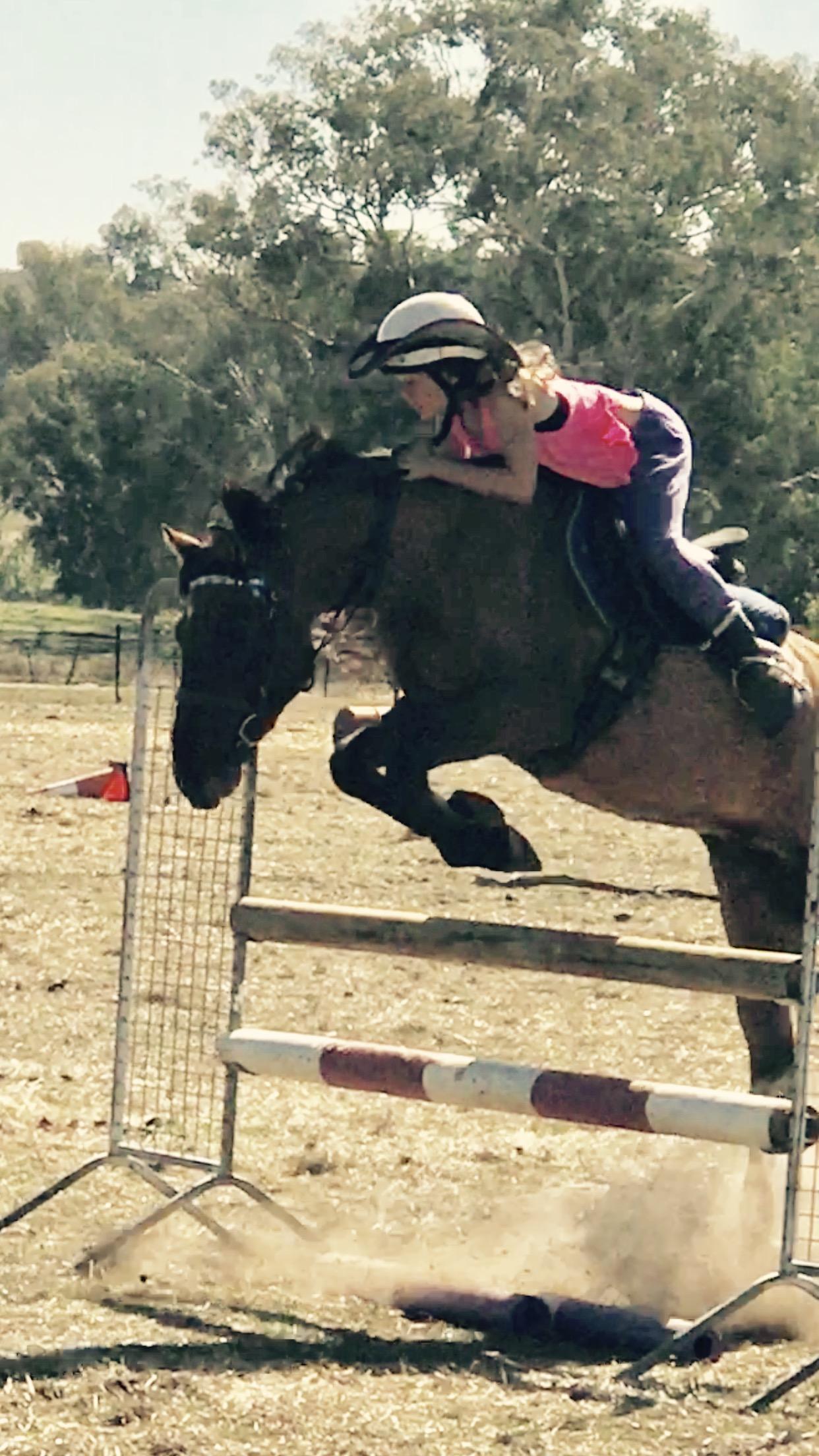 Buckskin Dun Highland Pony
