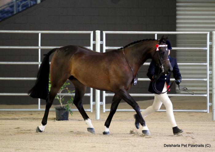 Beautifully bred Arabian mare