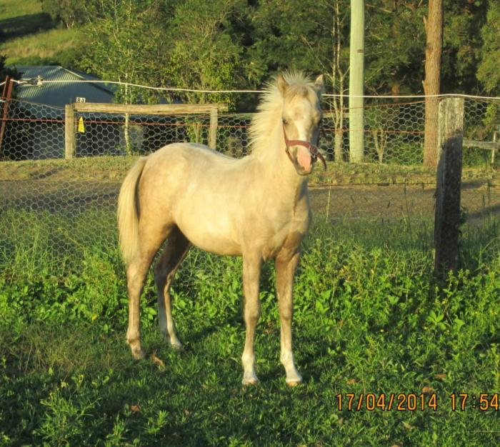 Outstanding Pure APSB Palomino Colt