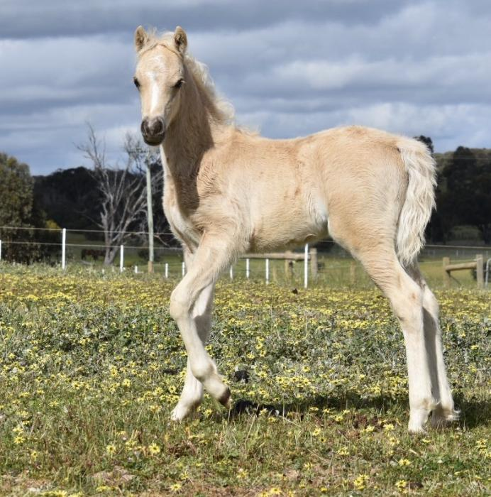 Quality Palomino Welsh Section B colt