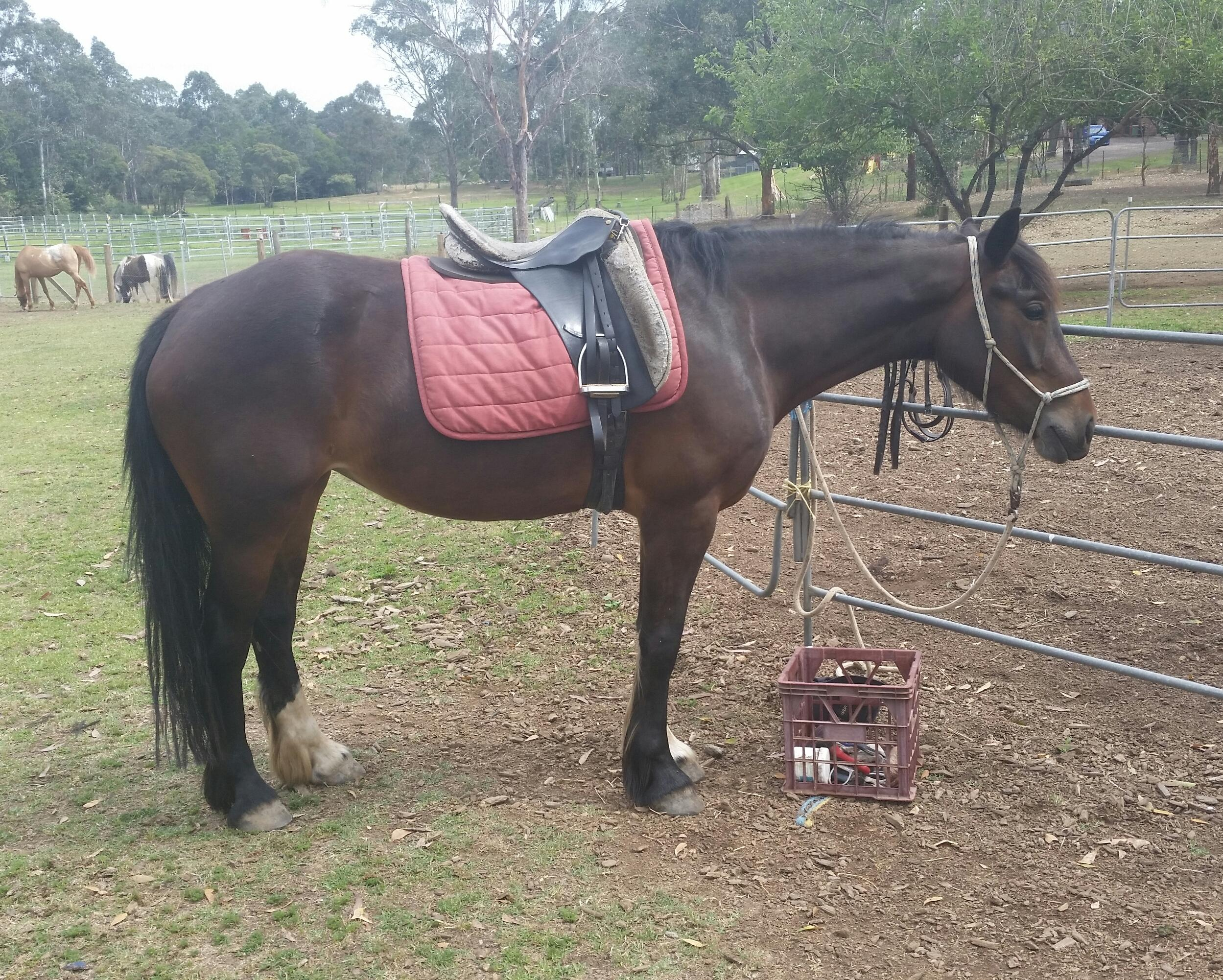 Trainable and sweet clydie /cob x wb 15.1h 4yrs mare