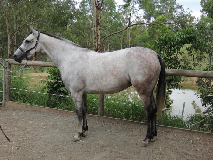 4yo Grey Irish Sport Horse Filly Irish Draught Sport