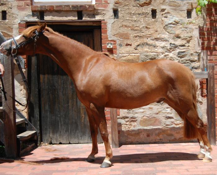 Reg Australian Pony