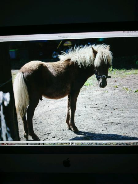 Miniature Pony Colt