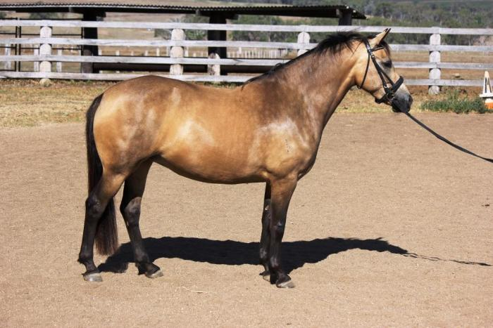 Pony Dressage Superstar Welsh x Warmblood